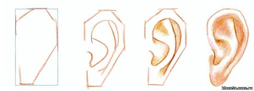 Как нарисовать человеческие уши